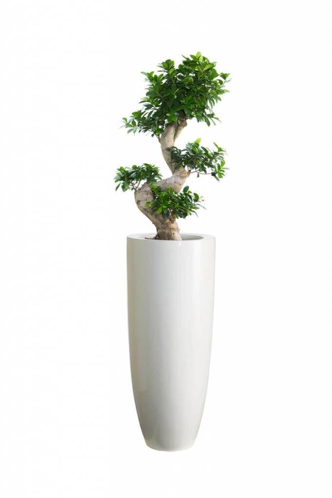 Nieuwkoop de kwakel Vase Seychellen White - Ficus Microcarpa Ginseng