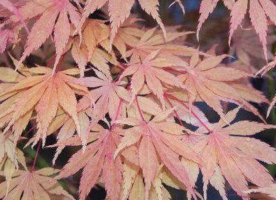 Acer palmatum ' Killarney ' Japanese Maple Tree