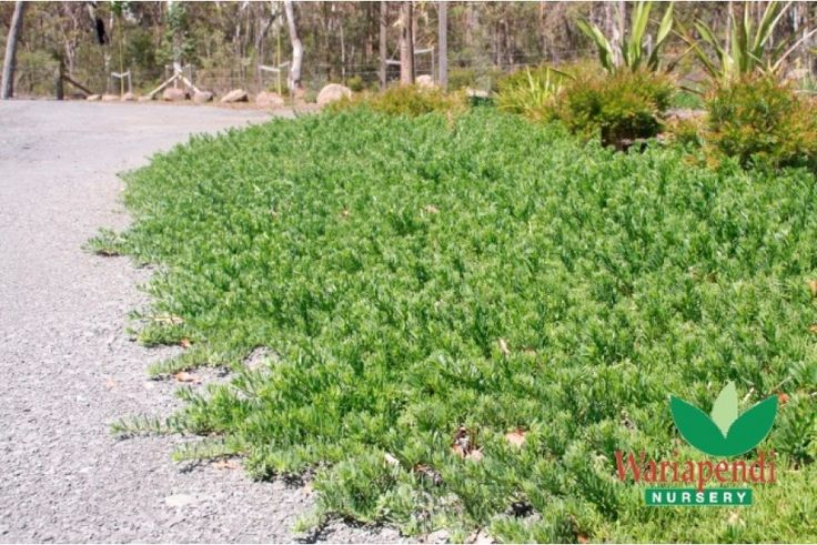 Myoporum parvifolium is an evergreen, fast growing, spreading ground-cover with broad foliage. This easy to grow native plant produces a mass of small star shaped flowers over spring and summer.