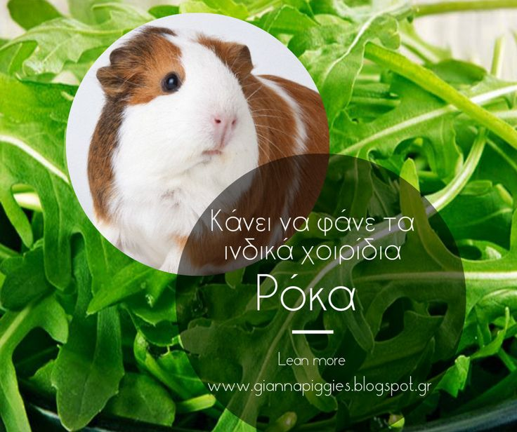 Can guinea pigs eat aragula? Κάνει να φάνε τα ινδικά χοιρίδια ρόκα? Learn more www.giannapiggies.blogspot.gr