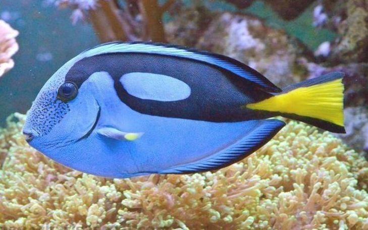 Blue Caribbean Tang Saltwater Aquarium Fish For Marine Aquariums In 2020 Saltwater Aquarium Fish Marine Aquarium Saltwater Aquarium