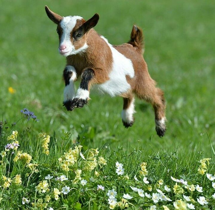 Baby pygmy goat jumping - photo#4