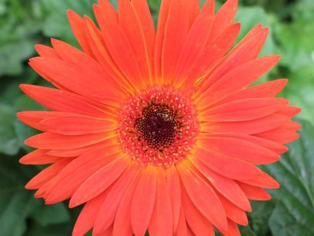Revolution Bicolor Yellow Orange gerbera from KieftSeed blooms earlier than other gerbera cultivars and boasts incredible color making these plants great for indoor color and gift-giving.