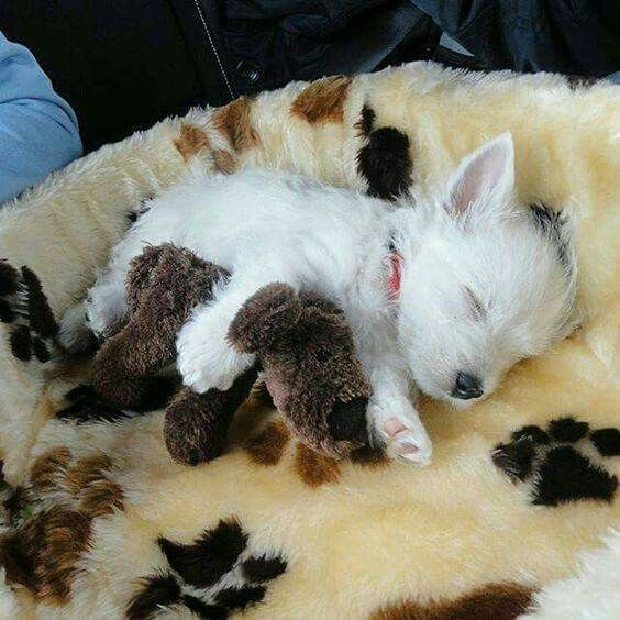 Westie puppy sleeping❤❤❤