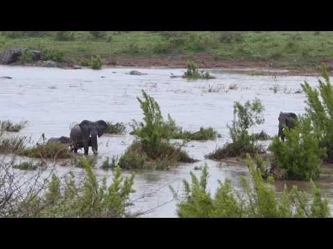 Слоны могли утонуть, переходя наводненную реку #слоны #ЮАР