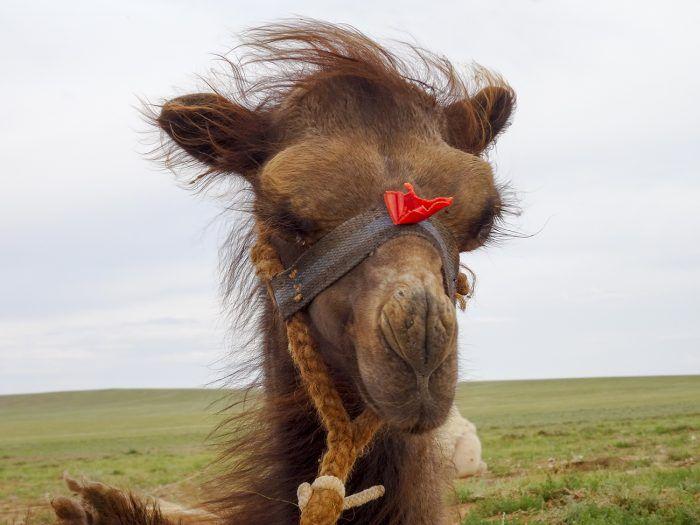 Babykameel in de Gobi woestijn – om verliefd op te worden