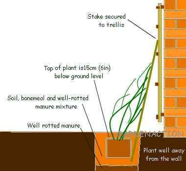 Diagram of planting a clematis agaist a wall