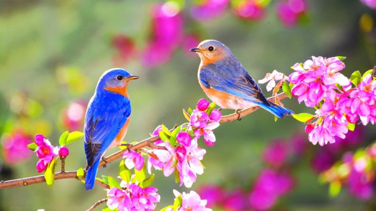 Wallpaper Download 1920x1080 Lovely two little blue birds on a blossom branch. Animal Wallpapers. HD Wallpaper Download for iPad and iPhone Widescreen 2160p