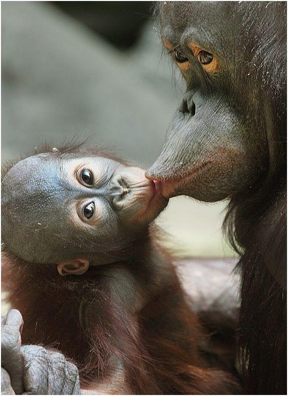 Macaca beijando seu macaquinho