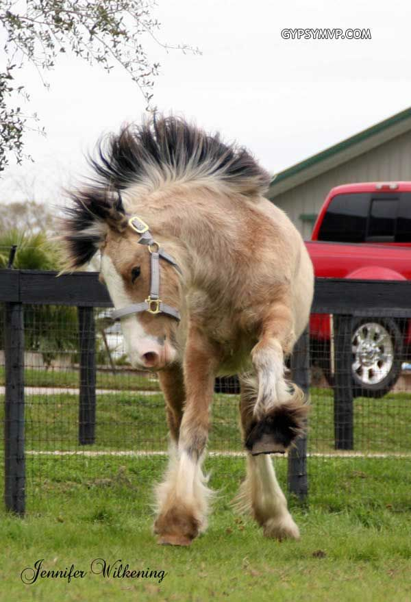 Gypsy Vanner Horses for Sale | Filly | Buckskin | Pixie