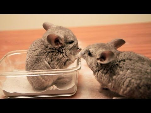 super Adorable Baby Chinchillas Cute Animals Pinterest