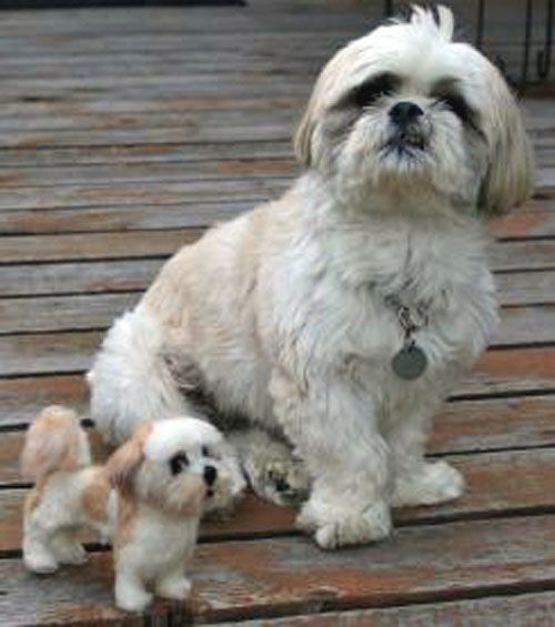 1000 Images About Shih Tzu Pictures On Pinterest