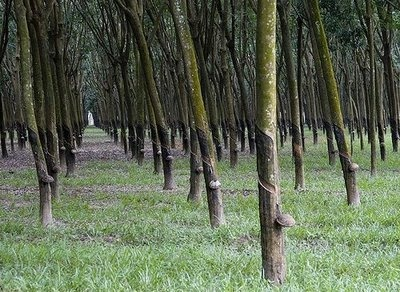 Spent many afternoons riding with my sister on our bikes through rubber tree plantations similar to this one.