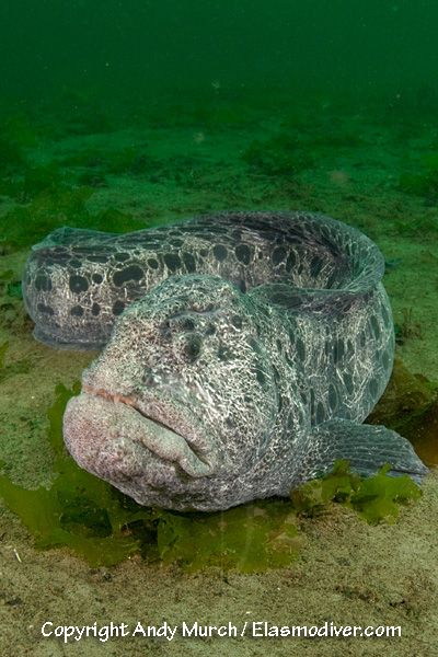 Wolf Eels. Hideously cute