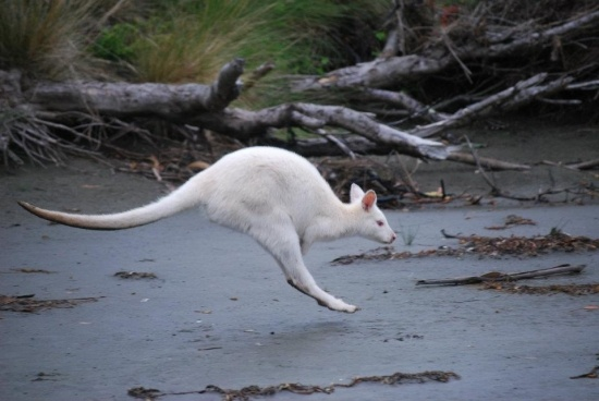 The albino wallabies on Bruny Island always amaze. They are in one area near Adventure Bay and easy to see any time of year.
