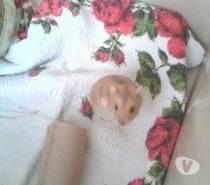 Nom : Kiss Kool Type/Race : Hamster Russe  Âge : né en 06/2015  Histoire: Trouvé…