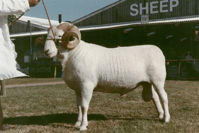 Raza de ovino Wiltshire Horn