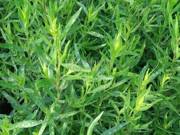 Plantas aromáticas en maceta: el estragón