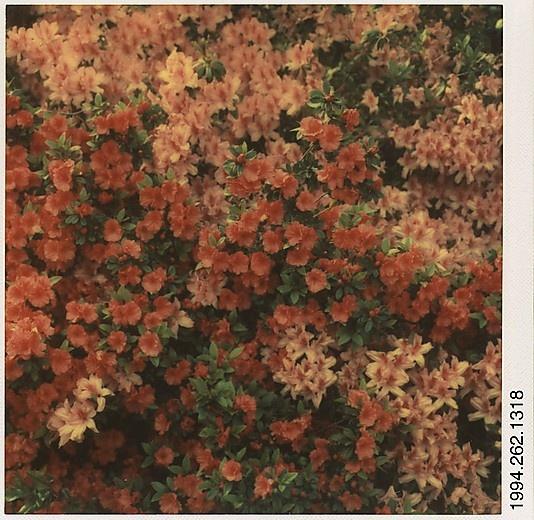 Walker Evans - Flowering Shrub,1973–74