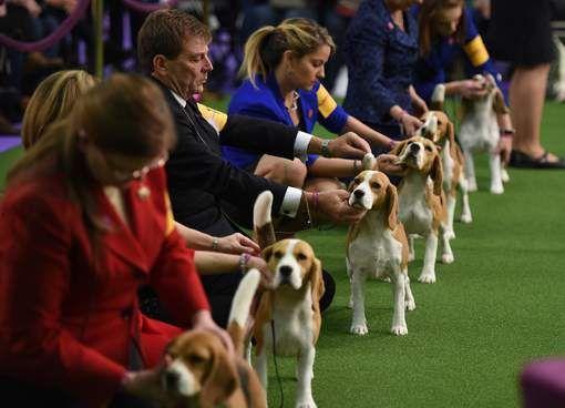 2800 honden willen de beste en de mooiste zijn op grote hondenshow in New York - HLN.be