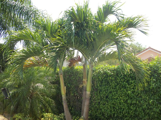 Best 25 Small Palm Trees Ideas On Pinterest Tropical