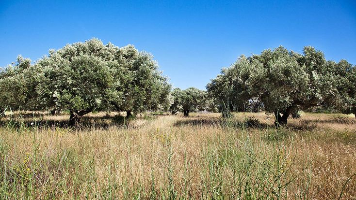 Pelasgaea | Why Greek Extra Virgin Olive Oil