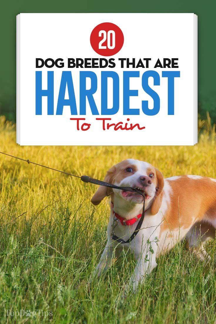 20 Most Hard To Train Dogs Based On Studies Dog Training Dog