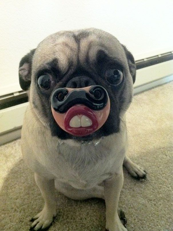 The Best Dogs Ideas On Pinterest Dog Puppy Facts And - Dogs looking funny with toys