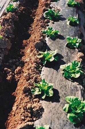 Zoom sul telo da pacciamatura biodegradabile e compostabile in Mater-Bi in un campo di lattuga