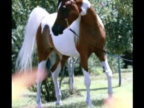Najpiękniejsze Konie Arabskie - Zdjęcia :))
