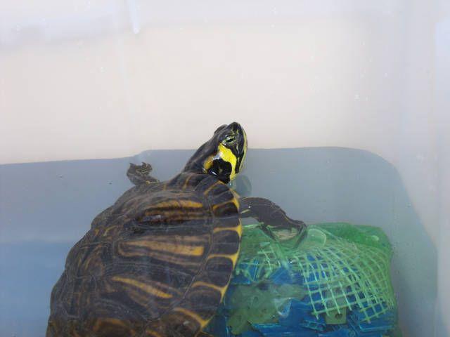 Foto della tartaruga dalle orecchie gialle nel suo habitat di vita quotidiano, mentre perlustra la nuova zona acquatica.