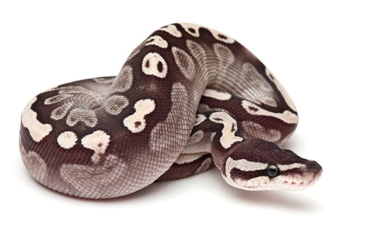Pastel mystic ball python - photo#25