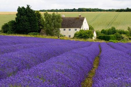 Lavender field near the Arch Abby of Pannonhalma. levendula pannonhalma -