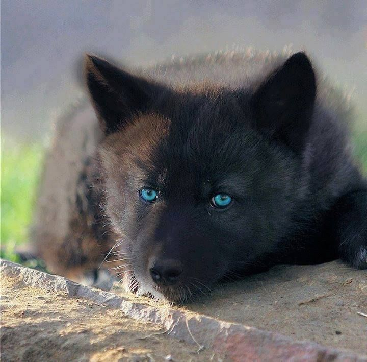 139 best Wolves images on Pinterest | Wild animals, Black ...