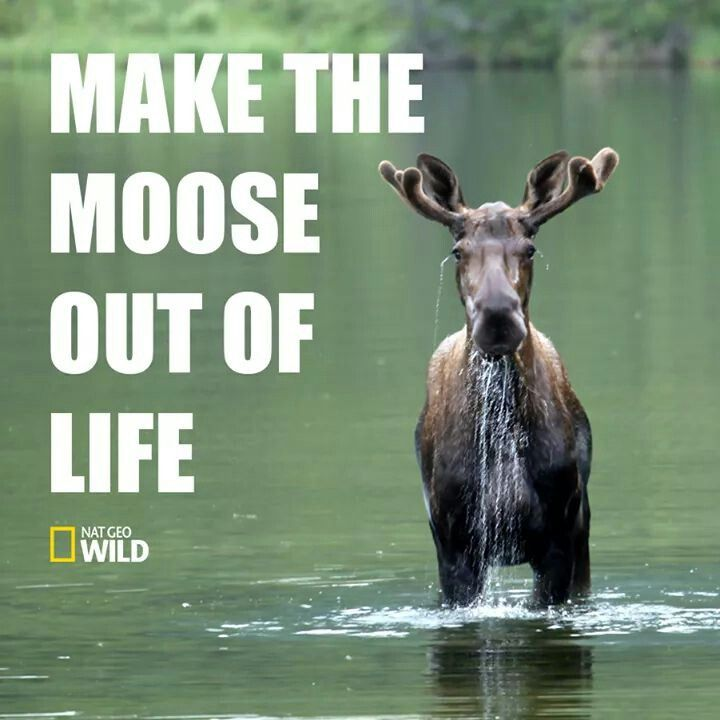 1000+ Images About Moose On Pinterest