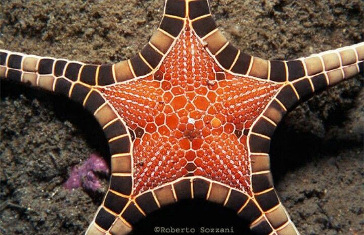 STARFISH .... iconaster longimanus ...............   . Alor Is. (Timor) ...... Indonesia  .......  . photo .. Roberto Sozzani