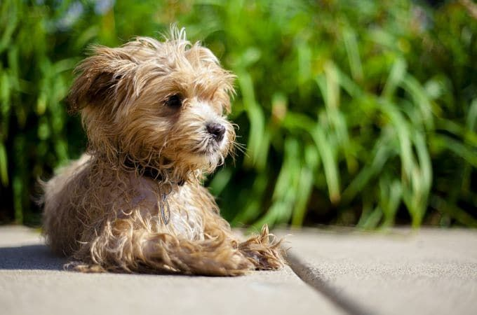 Small Maltipoo Dog Picture Color Brown Maltipoo Maltese Poodle Dog Crossbreeds
