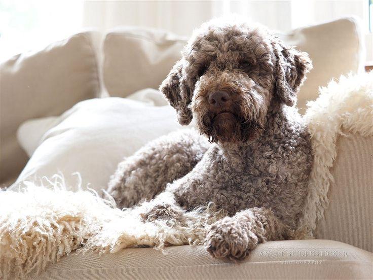 146 besten lagotto love bilder auf pinterest hunderassen lagotto romagnolo und hunde. Black Bedroom Furniture Sets. Home Design Ideas