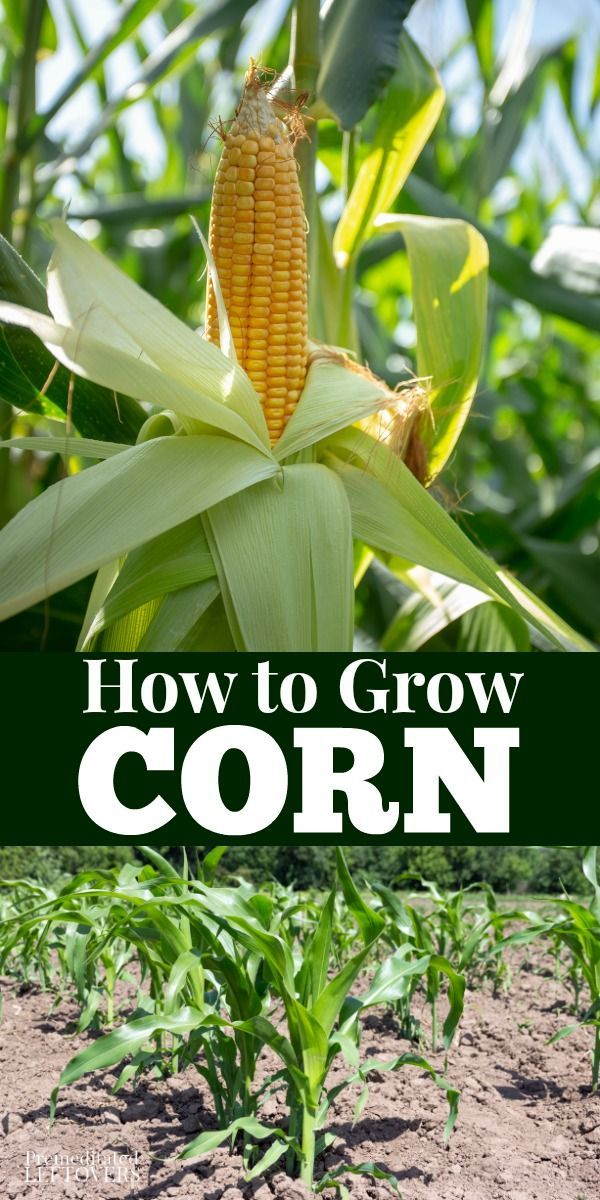 Gardening Tips For How To Grow Corn Including How To Plant Corn