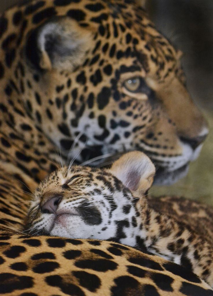 sdzoo: Sleep safe, little one. by Ion Moe Velario, a jaguar cub, rests on his mother Nindiri at the San Diego Zoo.