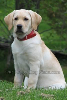 Beautiful yellow lab pup!   See tons more adorable babies when you visit www.the-puppy-dog-place.com/yellow-lab-puppy-pictures.html