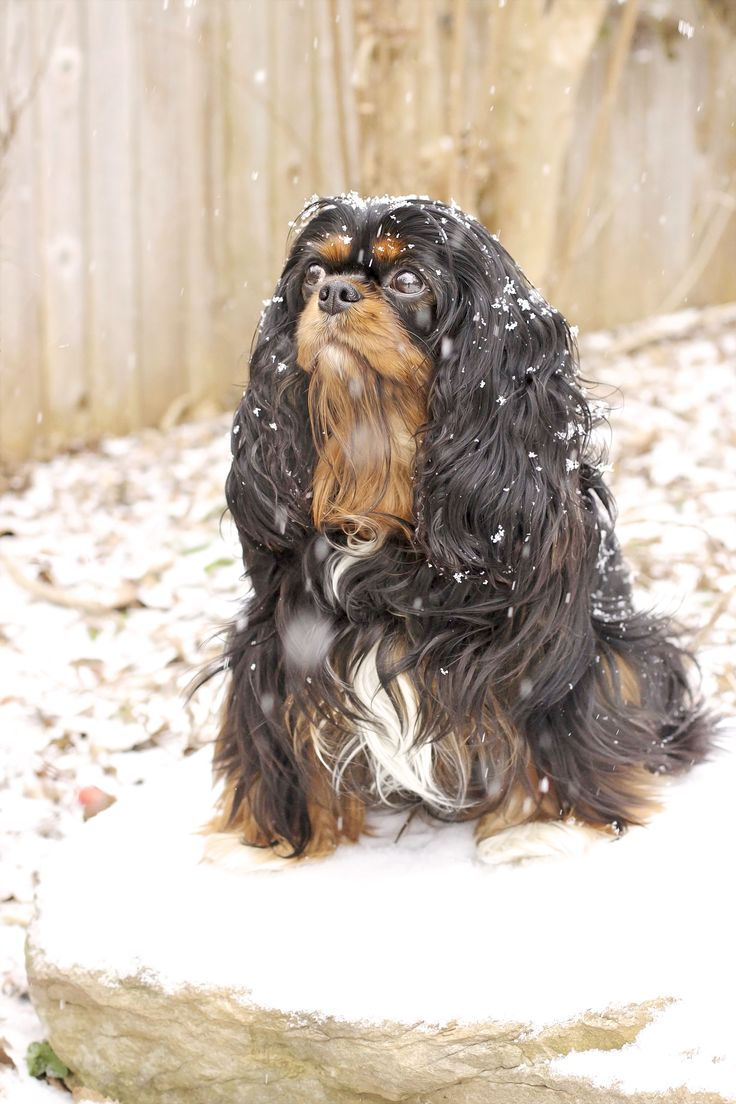 Maggie Mae, Cavalier King Charles Spaniel in the snow by Leanne Newman