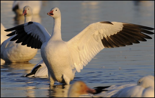 17 best images about snow geese on pinterest traditional. Black Bedroom Furniture Sets. Home Design Ideas