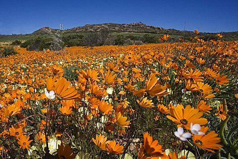 End of April and May will be the best time to plant your #Namaqualand daisies. Plant the daisies where they have full sun and you will have a spectacular winter garden.