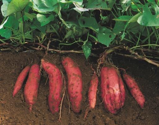 Pianta le patate dolci a tarda primavera avrai un ortaggio nuovo con un gusto particolare  www.ortopertutti.it
