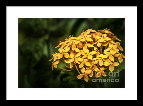 Ashoka Flowers - Yellow Variety Framed Print By Charuhas Images