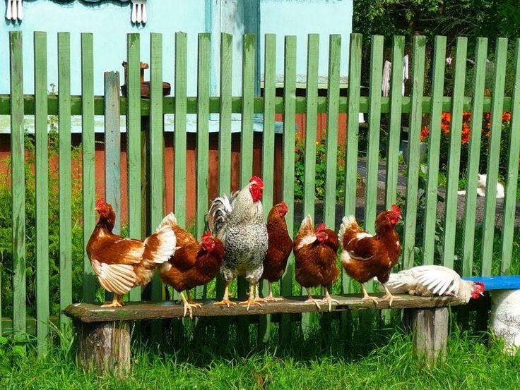 Белая курица -правильная курица: на скамейке нужно лежать. а не стоять!