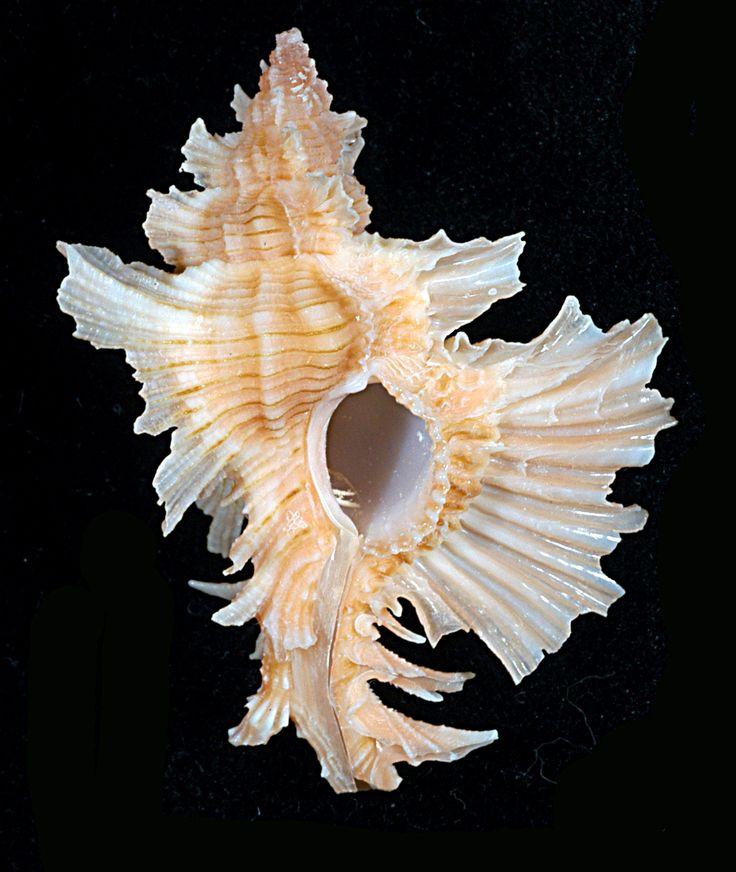 Les Coquilles - coenobita e-monsite