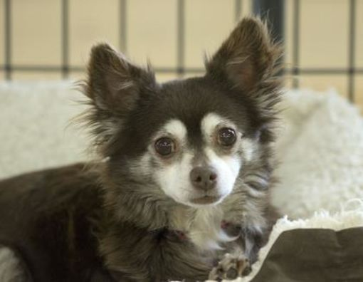 Colorado Springs Co Chihuahua Meet Belle A Pet For Adoption