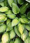 Hostas for sale buy Hosta 'June Fever' PP 15,340